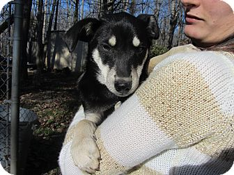 Husky/Australian Kelpie Mix Puppy for adoption in Lincolnton, North Carolina - Yago