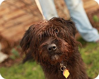 Labradoodle Mix Puppy for adoption in Lancaster, Ohio - Snuggles