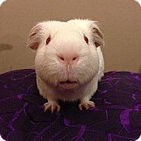 Adopt A Pet :: Peter - Fullerton, CA