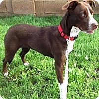 Adopt A Pet :: Ruairi - Gilbert, AZ