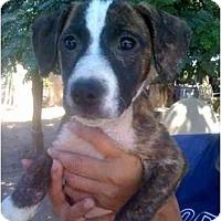 Adopt A Pet :: Audrina - Fowler, CA