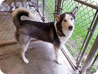 Siberian Husky Dog for adoption in Matawan, New Jersey - Rocky