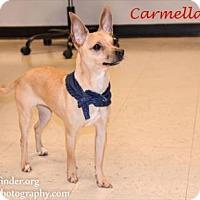 Adopt A Pet :: Carmela - Bedford, TX