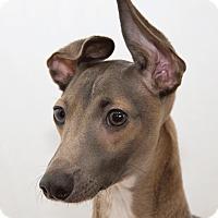 Adopt A Pet :: Huey - Cumberland, MD