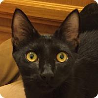 Adopt A Pet :: Mr. Purr-fect - Tucson, AZ