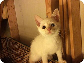 Domestic Shorthair Kitten for adoption in Rochester, Michigan - A Simon