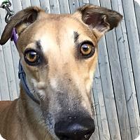 Greyhound Dog for adoption in Swanzey, New Hampshire - Fergie