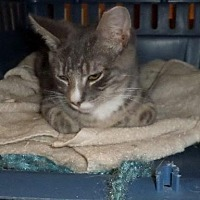Domestic Shorthair Cat for adoption in Harrisburg, Pennsylvania - Jojo (teenage male)