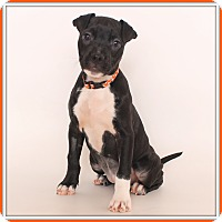 Labrador Retriever/Terrier (Unknown Type, Medium) Mix Dog for adoption in Glendale, Arizona - Ali Boulala