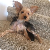 Adopt A Pet :: Piper - Rocky Hill, CT