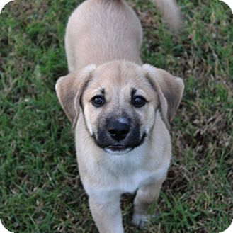 Shepherd (Unknown Type)/Retriever (Unknown Type) Mix Puppy for adoption in kennebunkport, Maine - Oliver - PENDING - in Maine