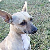 Adopt A Pet :: Abe Lincoln - Portsmouth, VA