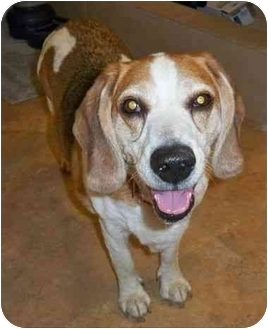Beagle Dog for adoption in Portland, Oregon - Starsky