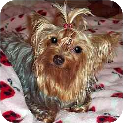 Yorkie, Yorkshire Terrier Dog for adoption in The Villages, Florida - Cricket