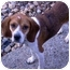 Photo 3 - Beagle Puppy for adoption in Pittsburgh, Pennsylvania - Verona