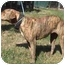 Photo 3 - Catahoula Leopard Dog/Pit Bull Terrier Mix Dog for adoption in Tyler, Texas - TG-Precious