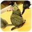 Photo 3 - Domestic Shorthair Cat for adoption in Bonita Springs, Florida - Bella