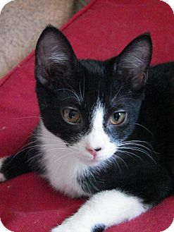Domestic Shorthair Kitten for adoption in Grand Rapids, Michigan - Raphael