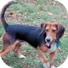 Beagle/Basset Hound Mix Dog for adoption in Pittsburgh, Pennsylvania - Laker