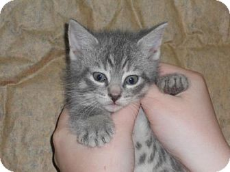 Domestic Shorthair Kitten for adoption in Oxford, New York - Will