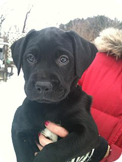 Labrador Retriever/Boxer Mix Puppy for adoption in Hadley, Michigan - Chablis-PENDING ADOPTION
