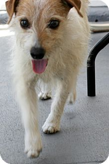 Jack Russell Terrier Mix Dog for adoption in Thousand Oaks, California - Ringo