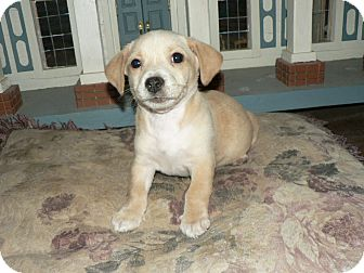 Dachshund/Chihuahua Mix Puppy for adoption in North Brunswick, New Jersey - Snowy