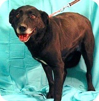 Labrador Retriever Mix Dog for adoption in New Roads, Louisiana - Allie