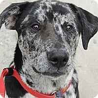 Adopt A Pet :: Apollo - Brattleboro, VT