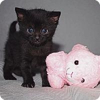 Adopt A Pet :: Bitsi - Bentonville, AR