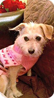 Cairn Terrier/Border Terrier Mix Dog for adoption in Redondo Beach, California - Sadie is quiet