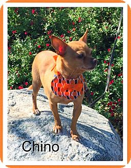 Chihuahua Dog for adoption in Santa Ana, California - Chino (LM)