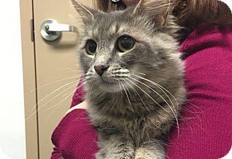Domestic Mediumhair Cat for adoption in Chesapeake, Virginia - Elsie