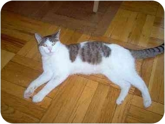 Domestic Shorthair Cat for adoption in Jamaica, New York - Joey