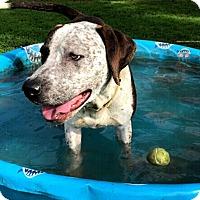 Pointer/Hound (Unknown Type) Mix Dog for adoption in Quailcum, British Columbia - Duke