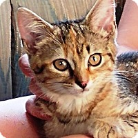 Domestic Shorthair Kitten for adoption in Centreville, Virginia - Tawny