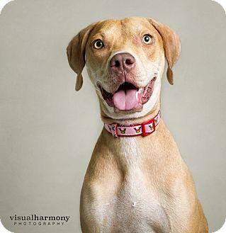 Weimaraner/Hound (Unknown Type) Mix Dog for adoption in Chandler, Arizona - Sassy