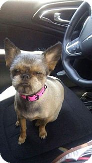 Brussels Griffon/Pomeranian Mix Dog for adoption in Edmond, Oklahoma - Lily