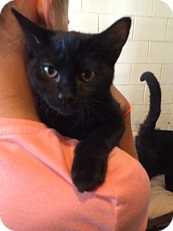 Domestic Shorthair Kitten for adoption in Salem, Ohio - Emma