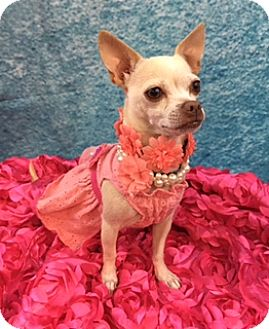 Chihuahua Mix Dog for adoption in Lake Elsinore, California - Paige