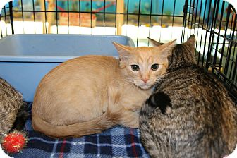 Domestic Shorthair Kitten for adoption in Rochester, Minnesota - Ginger