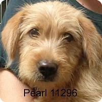 Adopt A Pet :: Pearl - Alexandria, VA
