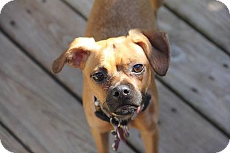 Pug/Miniature Pinscher Mix Puppy for adoption in Fort Atkinson, Wisconsin - Tootsie Roll