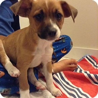 Boston Terrier Mix Puppy for adoption in Tomah, Wisconsin - Wendy