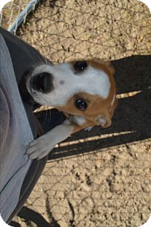 Labrador Retriever/Boxer Mix Puppy for adoption in Peyton, Colorado - Spencer