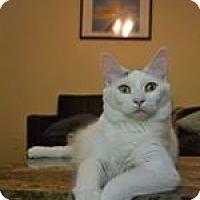 Domestic Mediumhair Cat for adoption in THORNHILL, Ontario - Nebula