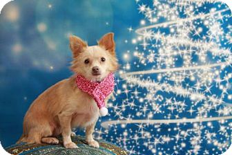 Pomeranian/Chihuahua Mix Puppy for adoption in Dallas, Texas - Libby