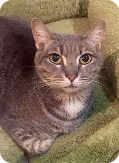 Domestic Shorthair Cat for adoption in Harrison, New York - Tara