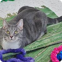 Adopt A Pet :: Shiba - Chambersburg, PA