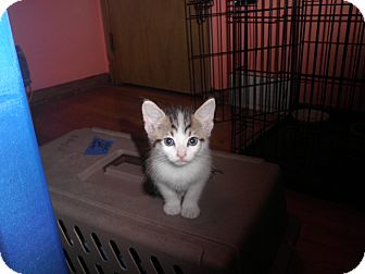 Domestic Shorthair Kitten for adoption in Warren, Michigan - Squeaky